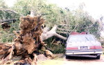 Thankfully no one was inside the car when this mammoth tree was ripped from the ground during the high winds of the hurricane.